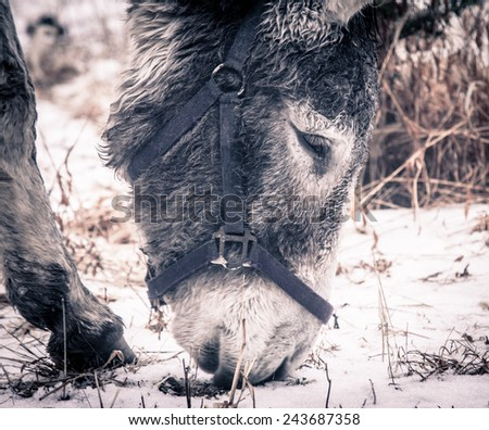 A donkey looking for food on the ground.
