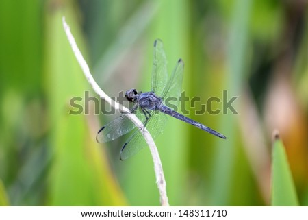A dragonfly on a blade of grass - stock photo
