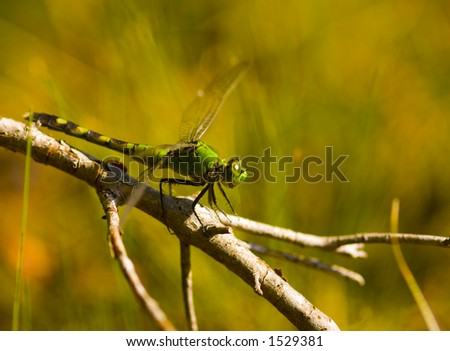 A dragonfly rests on a stick near a pond in Florida - stock photo