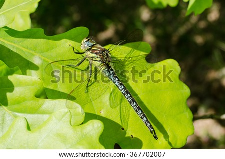 A dragonfly sitting on the green oak leaves in sunny day