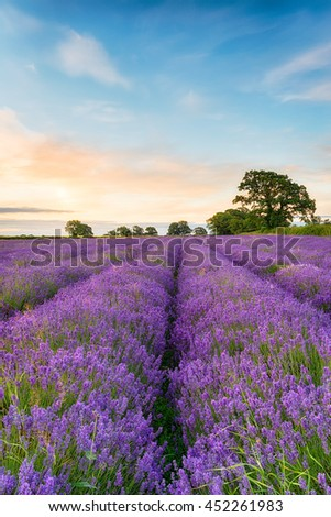 A dreamy field of Lavender growing in the English countryside