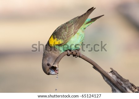 A drinking Meyer's Parrot