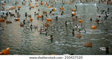 A duck flapping by wings among the duck flocks on the ice of the melting pond - stock photo