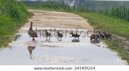 A duck is crossing a path with ducklings following her in a row,  stylized and filtered to resemble an oil painting - stock photo