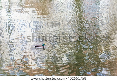 a duck on a water surface with ripple and reflection  - stock photo