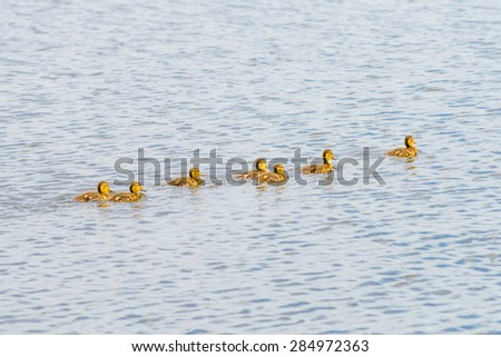 A duckling family  is swimming on the Dnieper river in Kiev the capital of Ukraine