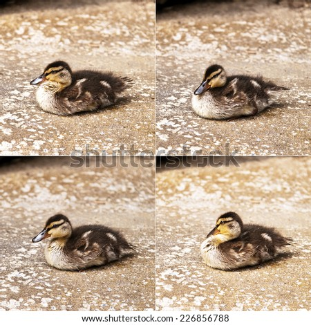 A duckling lying on the ground (wild duck or mallard) - stock photo
