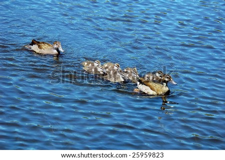 A ducks swimming in a pond - stock photo