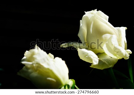 A duo of white roses. Isolated on black - stock photo