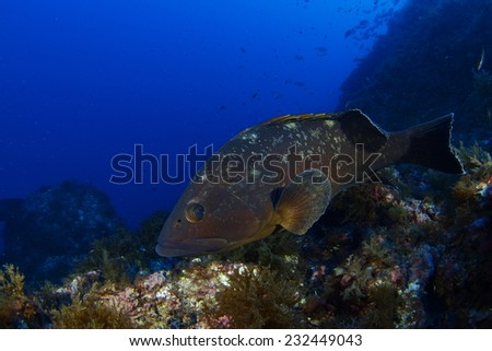 A Dusky grouper swims free at Mediterranean Sea, Cabo de Palos (Murcia)