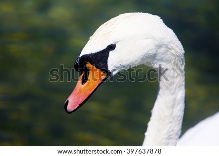 A Dutch white swan drinking some water - stock photo