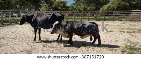 A dwarf bull and a cow. - stock photo