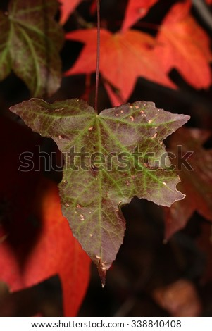A Dying Green Leaf Signifying the end of Autumn - stock photo