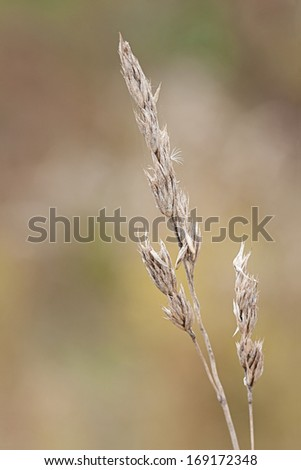 A dying orchard grass stands alone in a colorful prairie. Dried and aged, its seeds prepare to fall from the stem onto the prairie below. - stock photo