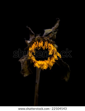 A dying sunflower on a black background.