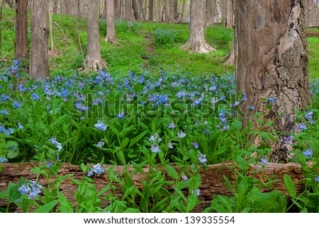 A dying tree and its fallen trunk protect springtime bluebells as they rise from the woodland floor. After death, the once majestic tree will to have a continued life safeguarding these bluebells. - stock photo