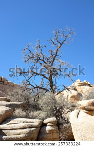 A dying tree growing out of the rocks a Joshua Tree National Park, California. - stock photo