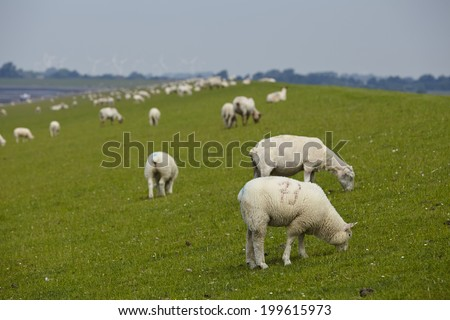 A dyke near Buesum in North Germany (Schleswig-Holstein, Dithmarschen) with some sheeps and green grass. The sheeps in the background are blurry.