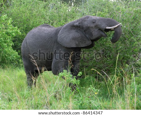 a elephant at fed in Uganda (Africa)