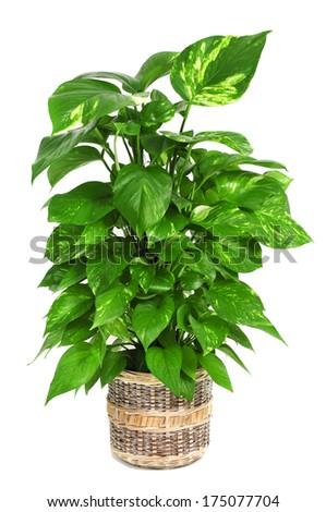 a Epipremnum aureum plant on a white background