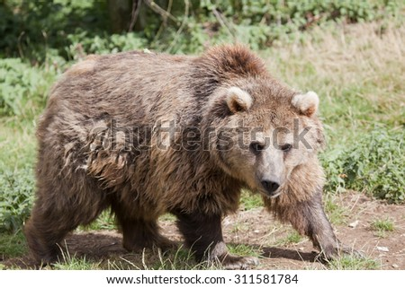 A Eurasian Brown Bear in the woods
