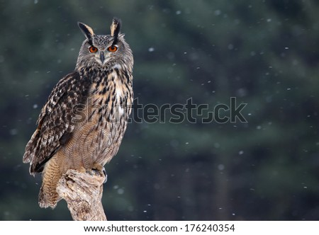A Eurasian Eagle Owl (Bubo bubo) sitting a perch with snow falling in the background.  - stock photo