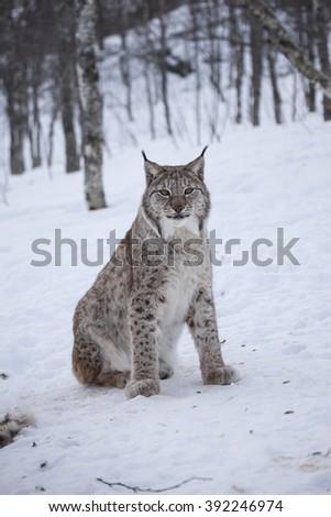 A eurasian lynx in winter.Norway. - stock photo