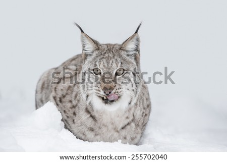 A Eurasian Lynx lying down in the snow, looking towards the camera and licking its lips. - stock photo