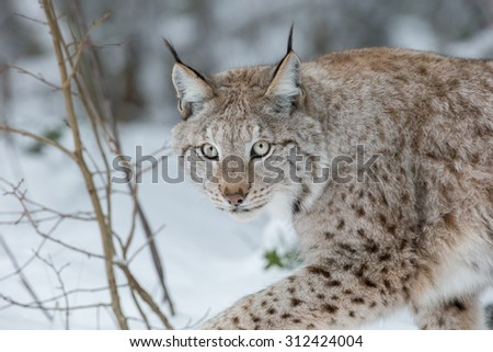 A Eurasian Lynx slowly walking through the snow and looking at the camera. - stock photo