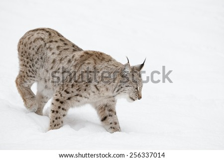 A Eurasian Lynx slowly walking through the snow and looking at the camera. Eurasian Lynx slowly walking through the snow. - stock photo