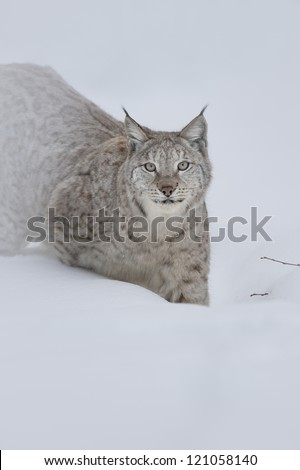 A Eurasian Lynx stalking its way through deep snow and staring into the camera with a steady gaze. - stock photo