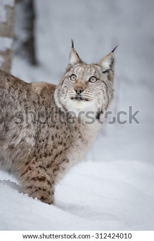 A Eurasian Lynx watching a low flying bird as it passes overhead. - stock photo