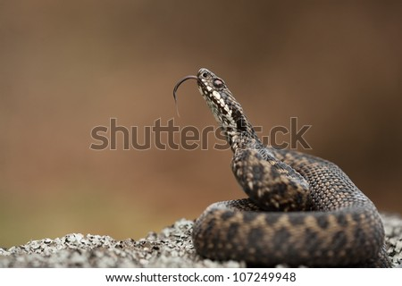 A European Adder. The snakes' attention has been caught by the photographers left hand which is just above the top of the frame. The snake is scenting the hand by tasting the air with its' tongue. - stock photo