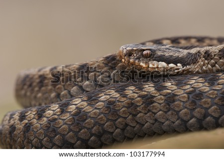 A European Adder (Vipera berus) basking on a sandstone wall, against a smooth pale background. - stock photo