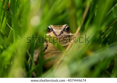 A European brown frog hiding in the grass.