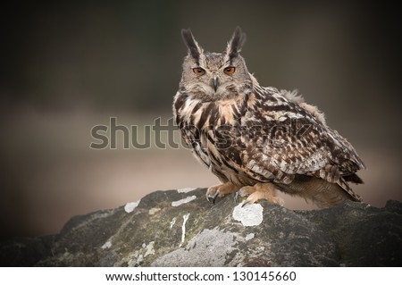A European Eagle Owl perched on rocks and looking straight at the camera. - stock photo