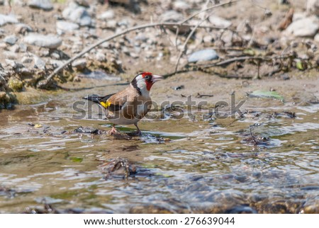 A European goldfinch drinking water from a river - stock photo