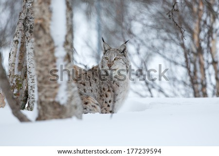 A european lynx in the snow. Cold winter, February, Norway. - stock photo