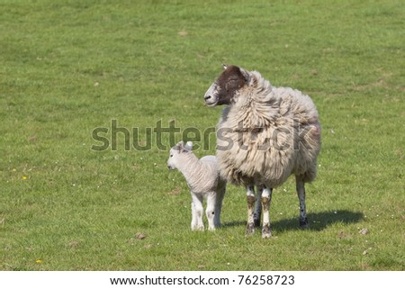 a ewe and lamb in a green meadow in springtime