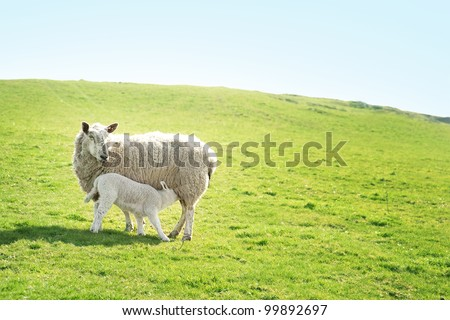 A ewe sheep feeding her lamb on a hillside.