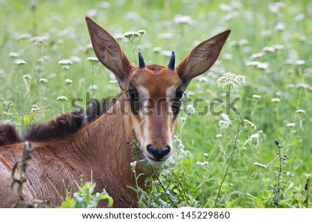 A face portrait of a young black buck. A baby of Hippotragus niger, lying among green grass. - stock photo