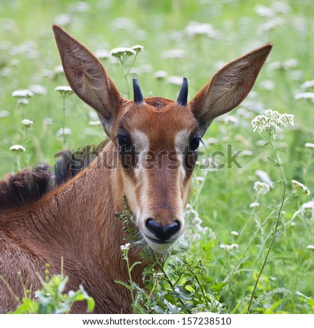 A face portrait of a young black buck. A baby of Hippotragus niger, lying among green grass. Very beautiful head of the sable antelope girl on the natural background. - stock photo