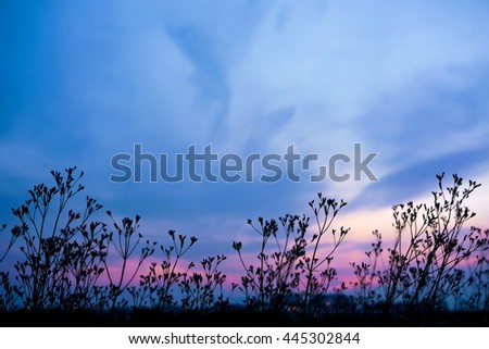 A faint glimpse of pink on dark blue sky before dusk with silhouette grass flowers and cloud. Dark blue tone picture - stock photo