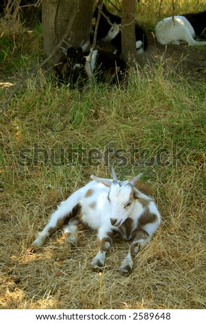 A fainting goat is a breed of domestic goat whose external muscles freeze for roughly ten seconds when the goat is startled.