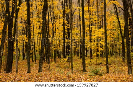 A fall forest landscape with yellow foliage and dark tree trunks
