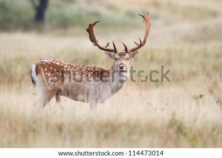 a fallow deer during the rutting season - stock photo