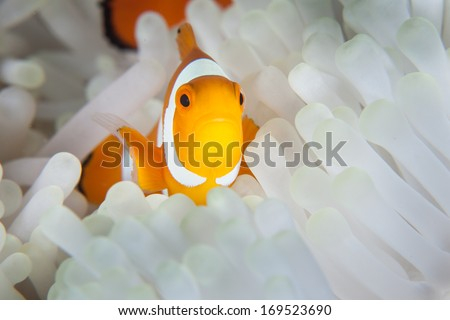 A False clownfish (Amphiprion ocellaris) snuggles into the bleached tentacles of its host anemone. This species of anemone fish is common throughout the Coral Triangle region. - stock photo