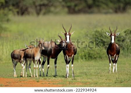 A family group of bontebok antelopes (Damaliscus pygargus dorcas), South Africa - stock photo