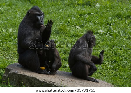 A family of black macaques eating oranges