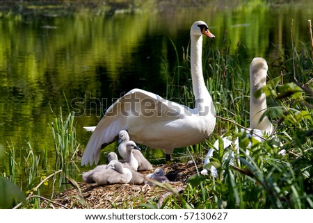 A family of cygnets - stock photo